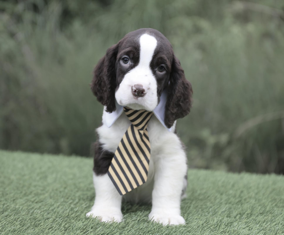 Available Puppies - English springer Spaniels